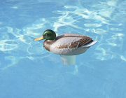 32130 | Clori-Duck™ - Mallard Chlorine Dispenser - Lifestyle